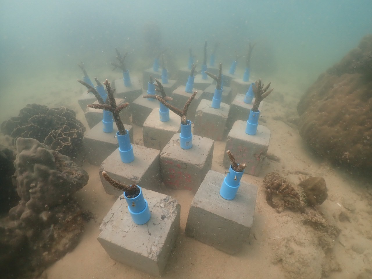 coral planting 2020